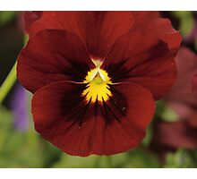 Scarlet Viola Photographic Print