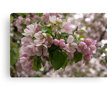 Blossoms and Buds - Springtime Apple Tree Canvas Print