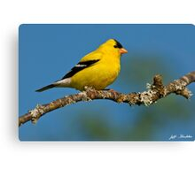 American Goldfinch Perched in a Tree Canvas Print