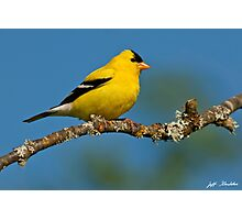 American Goldfinch Perched in a Tree Photographic Print