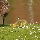 Goose chick with butterfly by elsie