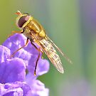 Hoverfly on Purple Flower by relayer51