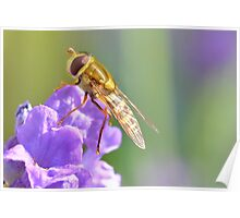 Hoverfly on Purple Flower Poster