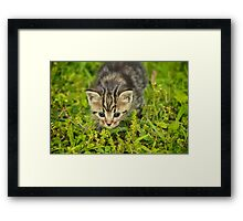 Baby Maine Coon Framed Print