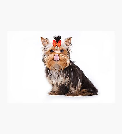 Funny shaggy dog puppy Yorkshire Terrier Photographic Print