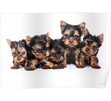 Funny shaggy dog puppy Yorkshire Terrier Poster