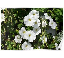 White calm flowers in the garden. Poster