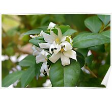 Macro on small beautiful white flowers on green leaves. Poster