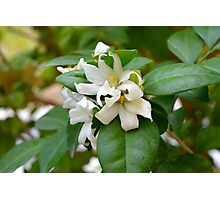 Macro on small beautiful white flowers on green leaves. Photographic Print