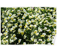Many small beautiful yellow white flowers in the park. Poster