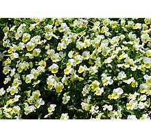 Many small beautiful yellow white flowers in the park. Photographic Print