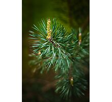 Pine bud Photographic Print