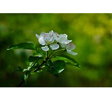Appletree flower Photographic Print