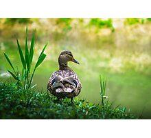 Mallard Duck portrait Photographic Print
