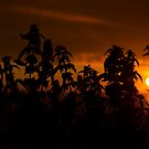 beautiful sunset through the wild nettles by morrbyte