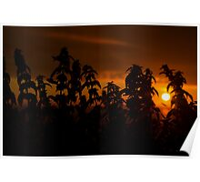 beautiful sunset through the wild nettles Poster