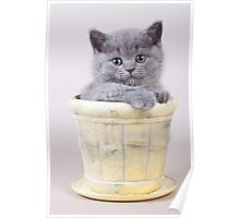 Charming fluffy kitten British cat Poster