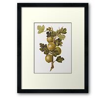 Gooseberry 'Crompton's Sheba Queen', a hand-coloured engraving after a drawing by Augusta Innes Withers Framed Print