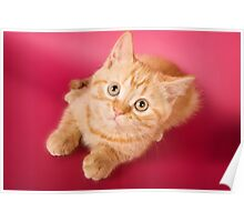 Charming fluffy red kitten British cat Poster