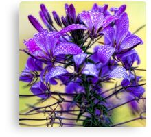 Rose Cleome - Early Morning Mist Canvas Print