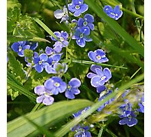 Tiny purple/blue flowers Photographic Print
