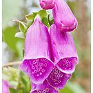 FOXGLOVES by Anthony Hedger Photography