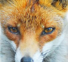In your face Vixen by Anthony Hedger Photography