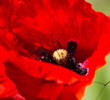 poppies in the field Sticker
