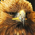 Hawk by Anthony Hedger Photography