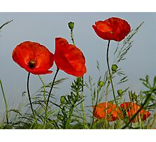 Red Poppies 6 - Mohnblume 6 Photographic Print