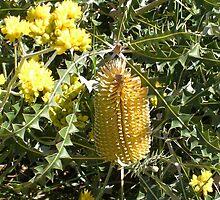 Banksia in Kings Park by lezvee
