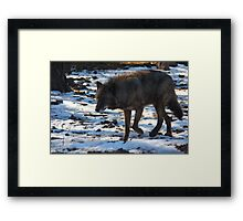 """Timber Wolf on the Prowl"" Framed Print"