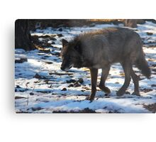 """Timber Wolf on the Prowl"" Metal Print"