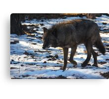 """Timber Wolf on the Prowl"" Canvas Print"