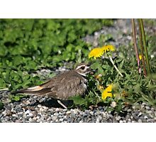 Killdeer With Eggs Underneath Photographic Print