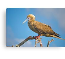 Red-Footed Booby Canvas Print