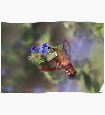 Hummingbird Clearwing Moth Poster