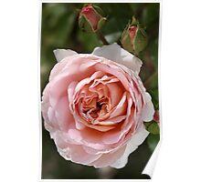 flower-pink-rose-bloom Poster