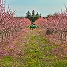 Peach Orchard at Work by Marilyn Cornwell