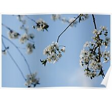 cherry blossoms Poster
