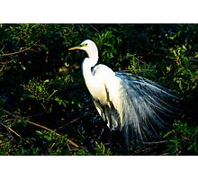 Great Egret Mating Season Display Photographic Print