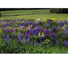 White Horse in a Lupine Field Photographic Print