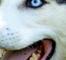 Micky Blue Eyes -Siberian Husky Dog - NZ Sticker