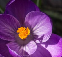 The First Crocus Celebrating Spring Sticker