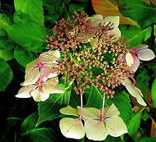 Early hydrangea by Janet GATHIER-COOMBER