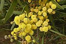 Acacia in Bloom by Trish Meyer