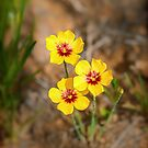 Tiny Trio of Texas Flax by Owed To Nature