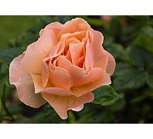 Peach Rose with Raindrops Photographic Print