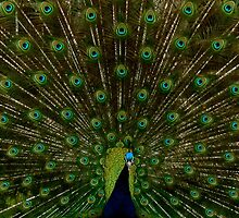 Peacock showing off his beautiful feathers by heatherbyrne