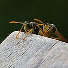 Wasps.......here he comes with that camera......!    by Roy  Massicks
